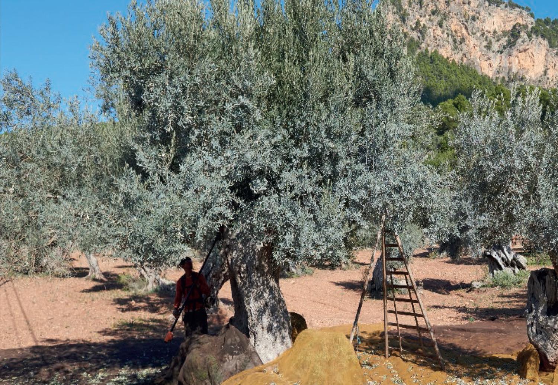 Olivenöl Mallorca