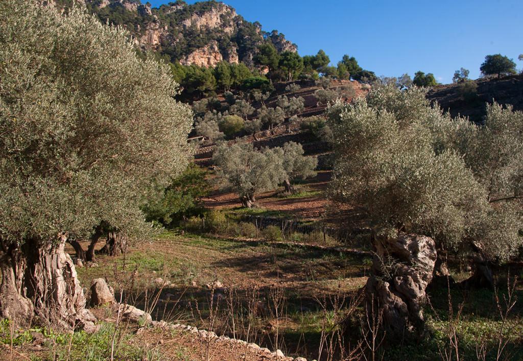 Recogida aceituna en Mallorca